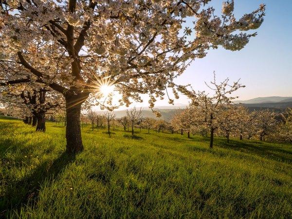 Kirschbäume im Frühling bei Nuglar
