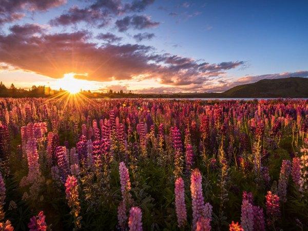 Sonnenuntergang am Lupinenfeld