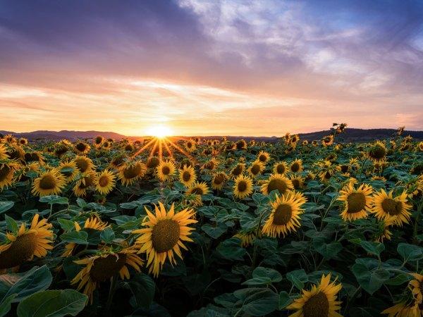 Sonnenblumenfeld im Aargau