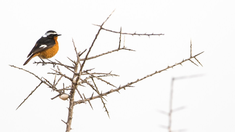 Moussier´s Redstart - Diademrotschnwanz