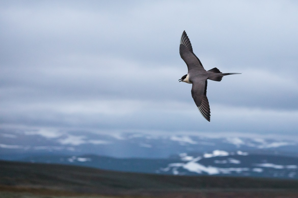 Long-tailed Skua - Falkenraubmöwe