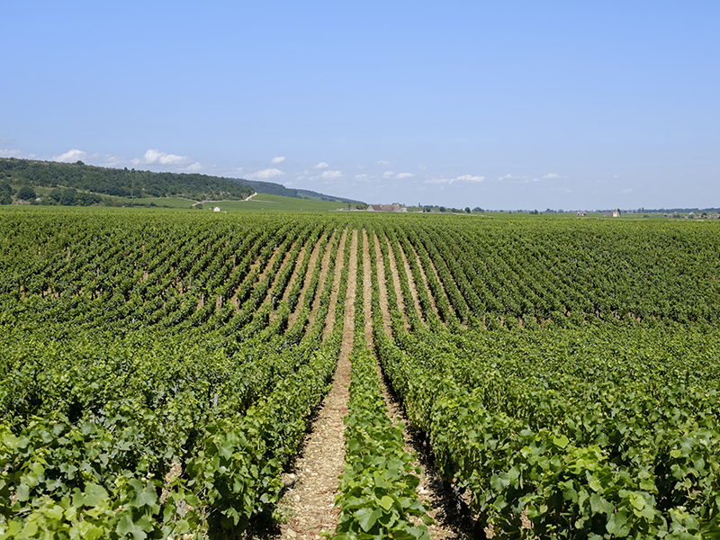 France-Burgundy-Domaine de-Romanee-Conti-Vineyard