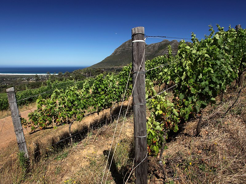 The vines at Cape Town's Cape Point winery directly overlook the ocean, while enjoying the influences of the South African sunshine. Photograph: Getty.