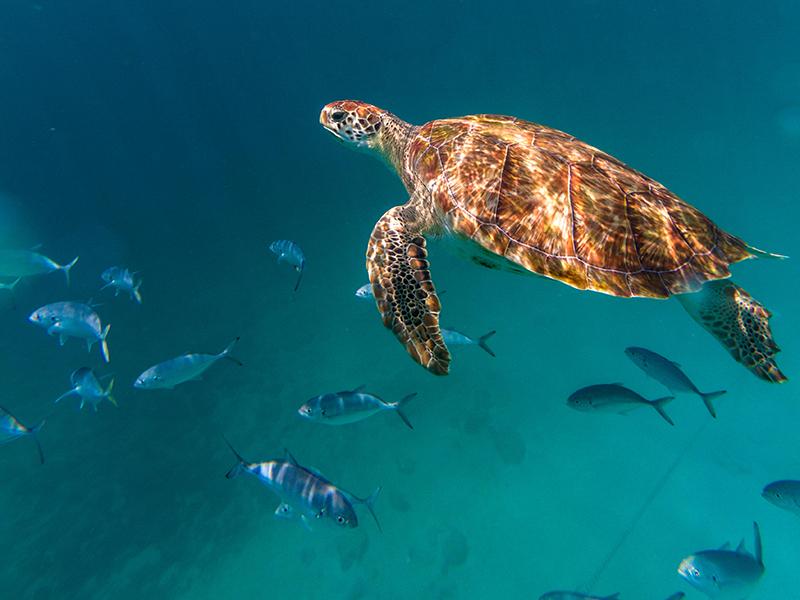 A hawksbill sea turtle