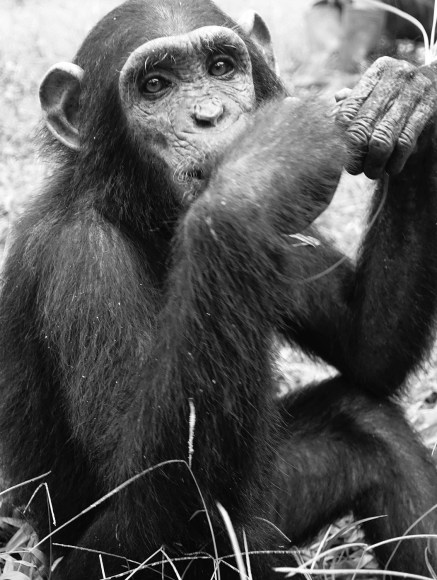 A young chimpanzee sitting, looking at the camera with its elbows on its knees and hands near its face
