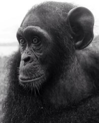 A black and white close-up of the face of a young chimpanzee in profile