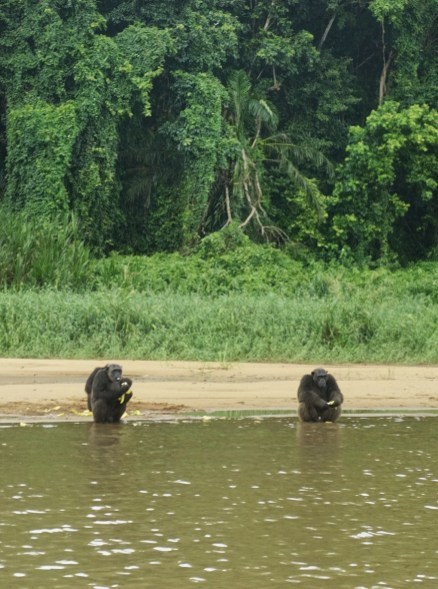 Two chimpanzees sitting on the sandy shore of a brown river in front of a forest