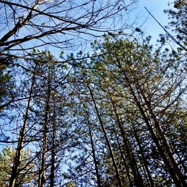 Looking up at evergreen trees against a blue sky