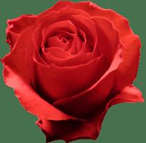 rosa-rossa-grafica