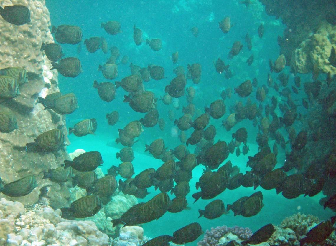 Fischschwarm in Marsa Alan