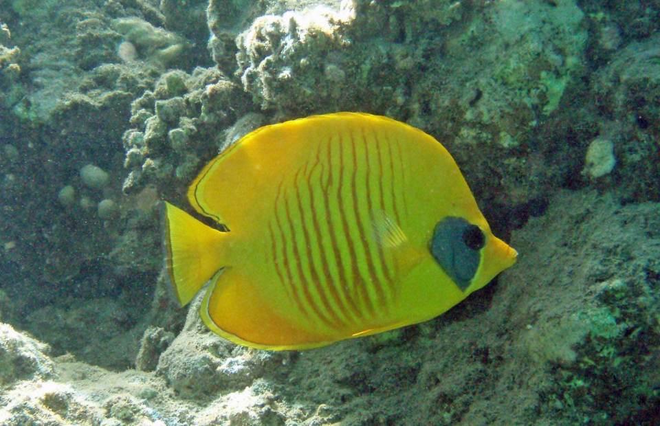 Falterfisch in Marsa Alam