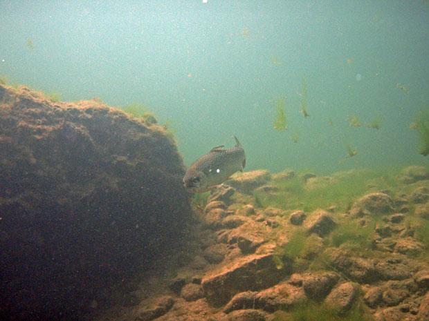 Fisch in der Ybbs