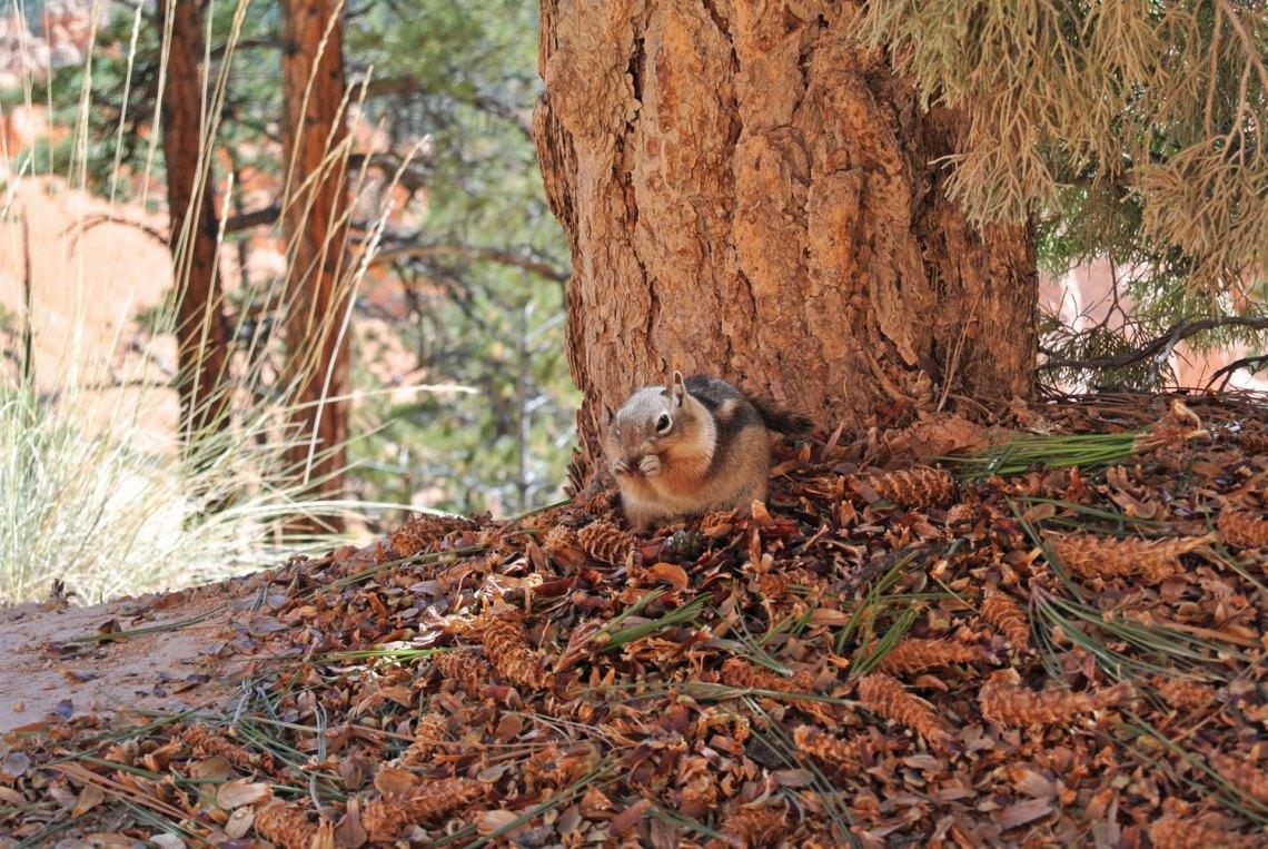 Eichhörnchen im Bryce Canyon