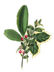 Vintage Christmas Clipart - Holly and  Mistletoe