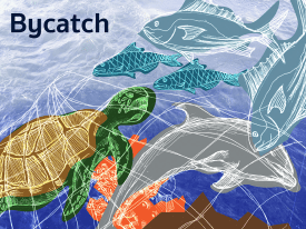 Overfishing, Bottom Trawling, & Bycatch © Qijia Qin (Project Summary)