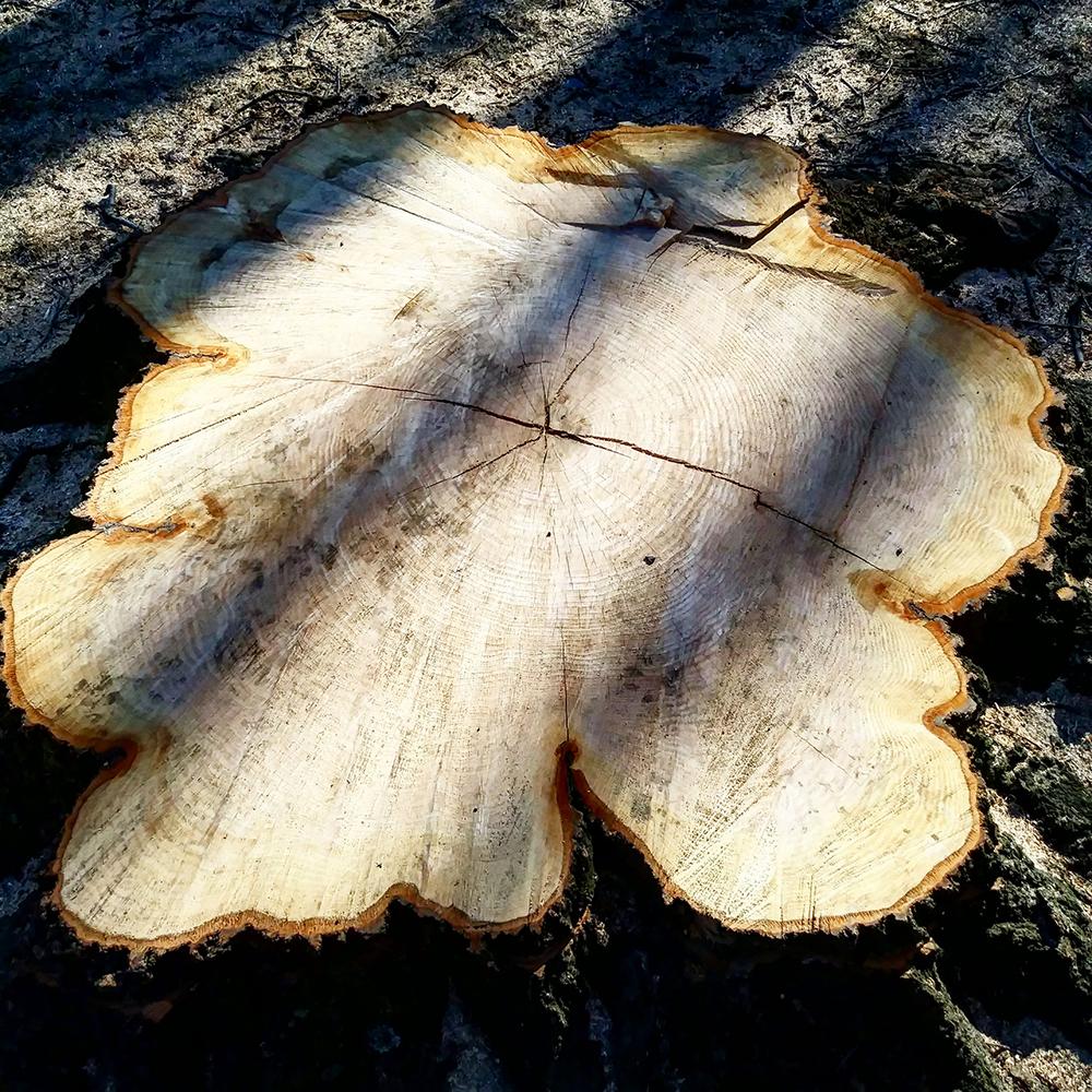 Astoria Tree Rings 94 years 1000px.jpg