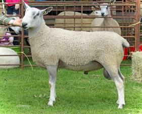 473A5561ChristowSheepedited