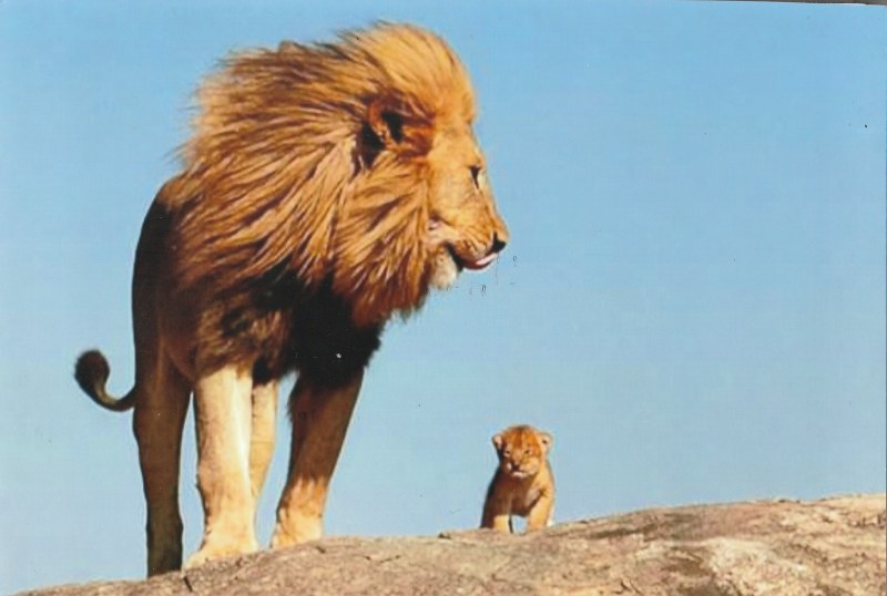 A Daddy Lion looks on tenderly at his cub