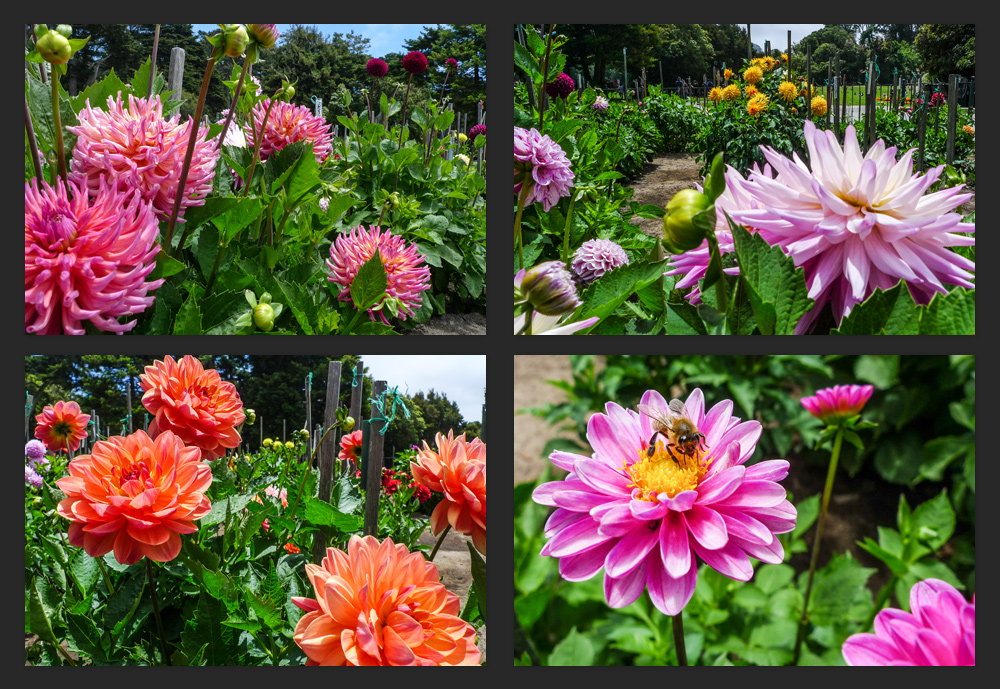 A dahlia exhibit outside of the San Francisco Conservatory of Flowers.