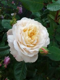 Crocus Rose