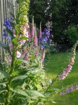 Foxgloves, Delphiniums