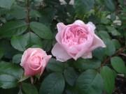 Rose, Wisley 2008