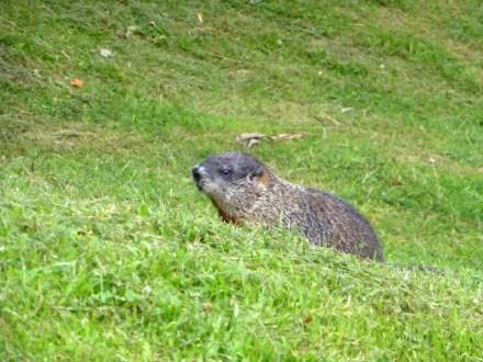 Gananoque Beaver