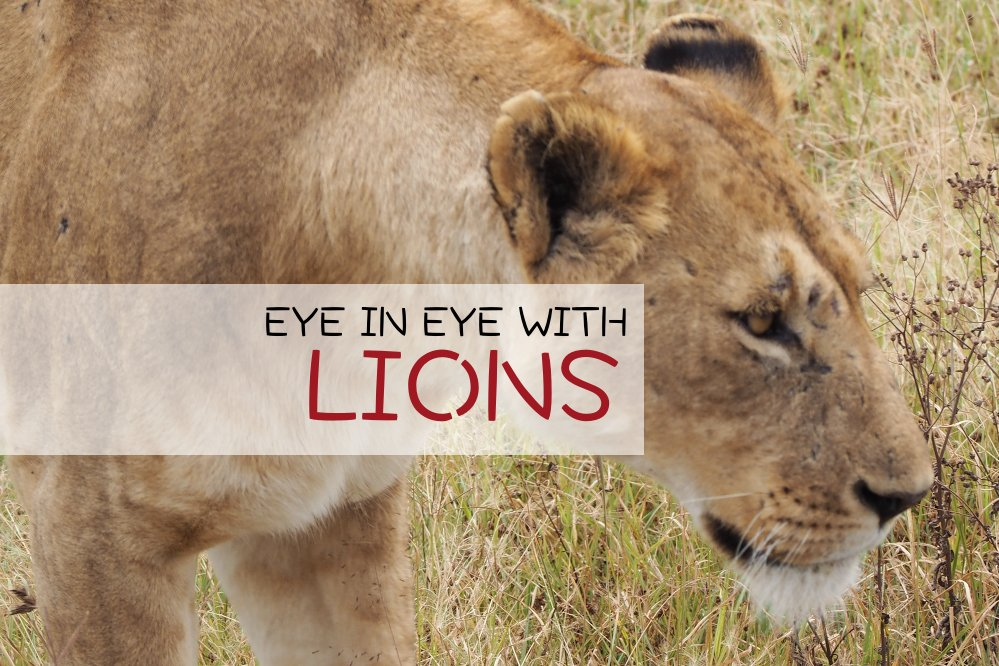 Lion Eye Ngorongoro Crater