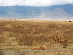 Ngorongoro Crater Lion