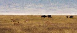Ngorongoro Crater Lion