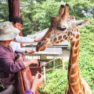 Giraffe Centre Nairobi Kenya