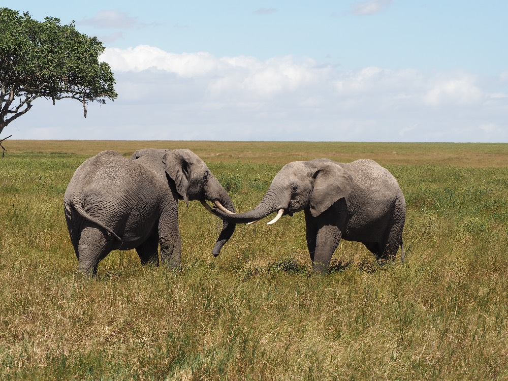Safari Tansania Elefanten