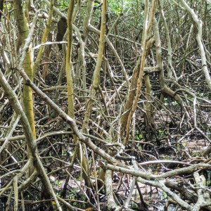 San Andres Ecofiwi Mangroven
