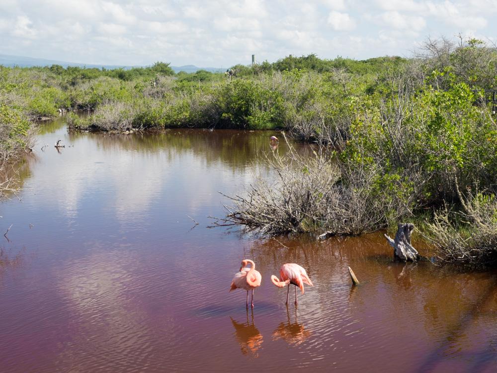 Galapagos Isabela Flamingo