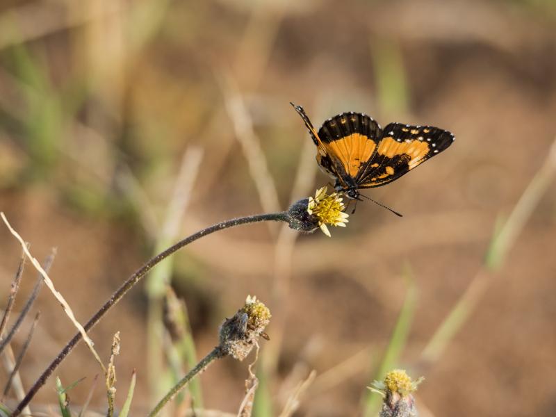 Schmetterling Tatacoa Wüste Kolumbien
