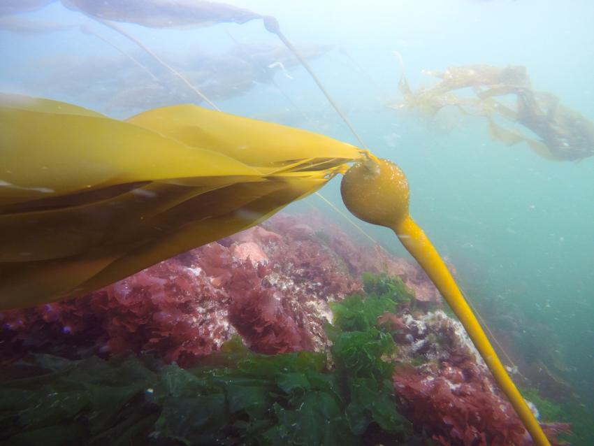 Bull Kelp Vancouver Island