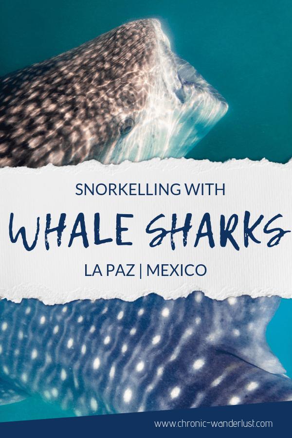 Whale Sharks snorkelling La Paz Mexico