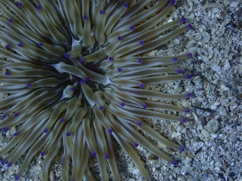 Unterwasserfoto Seeanemone