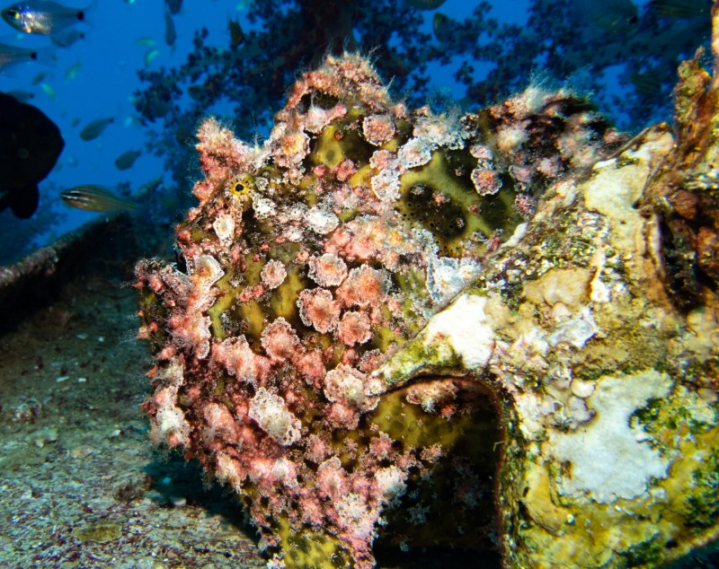 Frog Fish Anglerfisch Eilat Tauchen Israel Rotes Meer