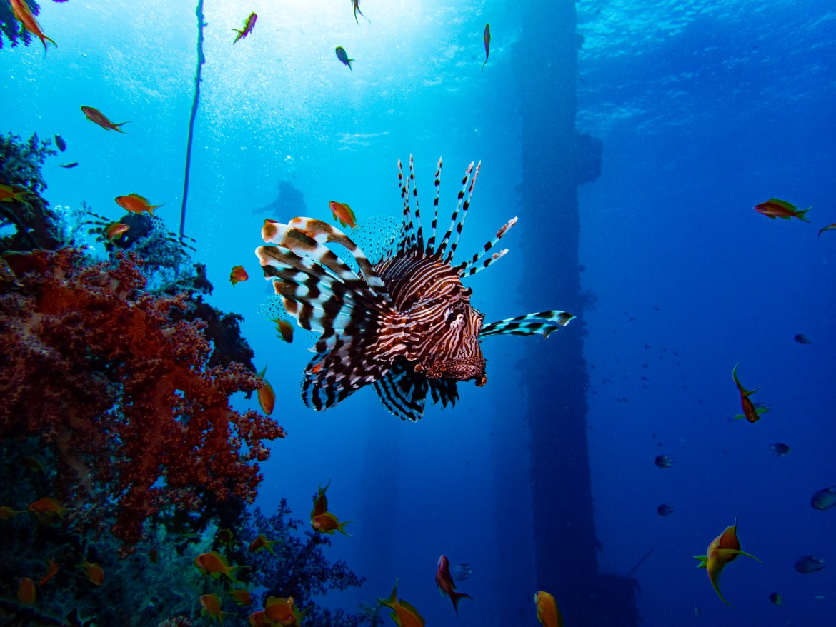 Lionfish scuba diving in Eilat