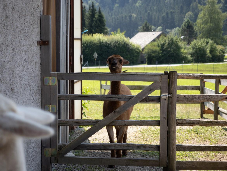 Alpacas Wolfgangsee Franzl