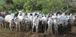 cattle banned in Ebonyi state