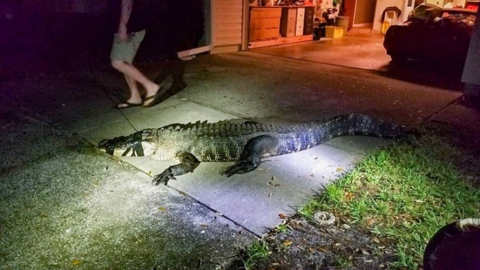 The reptile had been spotted lurking around the neighbourhood by a woman delivering newspapers