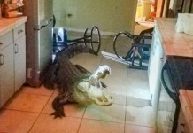 The homeowner found the alligator in her kitchen