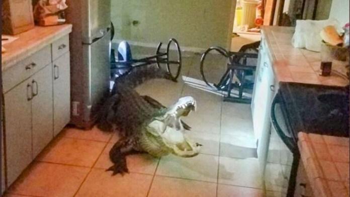 The homeowner found the alligator in her kitchen