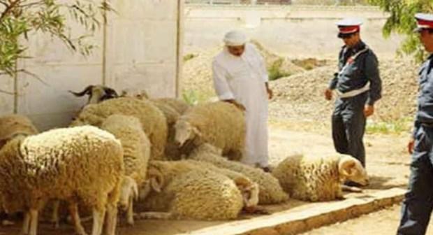 تزنيت..الدرك تمسك فراقشية بعد سرقتهم 40 خروفا