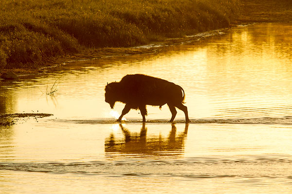 buffalo, bison, Theodore Roosevelt National Park, wildlife, river crossing, Little Missouri River,