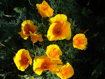 californiapoppies1.JPG