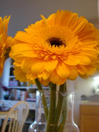 yellowgerbera.jpg
