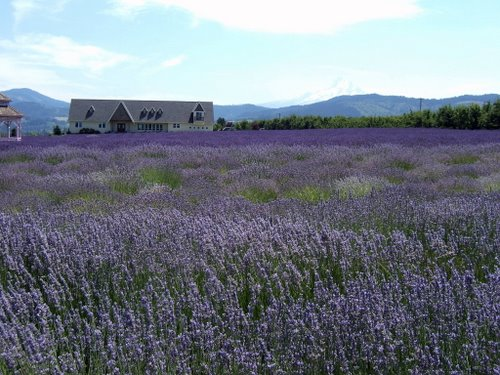Lavender Valley Lavender Farm, Hood River, Oregon